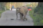 فيل يقطع شارعاً في الهند لممارسة كرة القدم