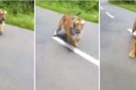 فيديو يحبس الأنفاس.. نمر يطارد رجلين على دراجة نارية بالهند